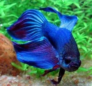 O peixe beta muda de cor