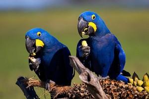 Arara azul onde vive