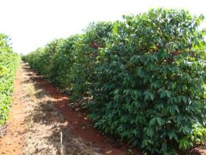 Como é plantado o café