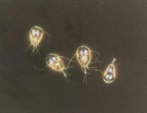 Giardia sintomas