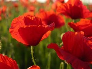 Nomes de flores do campo